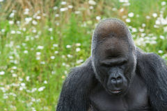 Silverback Gorilla looking sad. Large male Silverback Gorilla looking down at the floor Royalty Free Stock Photography