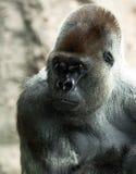 Silverback gorilla in Loro Park Stock Image