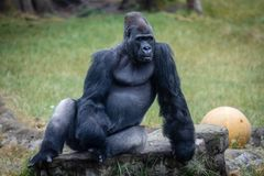Silverback Gorilla lounges at the San Francisco Zoo royalty free stock images
