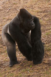 Silverback gorilla. Male African Silverback gorilla squatting and eating Stock Photography