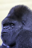 Silverback gorilla male Stock Photo