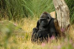 Silverback Gorilla. A silverback male gorilla looking at camera in London zoo stock images