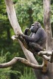 Silverback Gorilla. A male silverback mountain gorilla the Apenheul, Apeldoorn, The Netherlands Stock Images