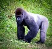 Silverback gorilla. In a meadow Royalty Free Stock Photo