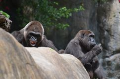 Silverback Gorilla. Mother and Father stock image