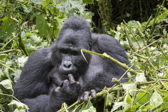 Silverback gorilla picking teeth, Bwindi Impenetrable Forest Nat Royalty Free Stock Images