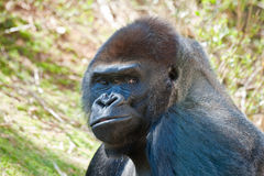 Silverback Gorilla Portrait Stock Photos