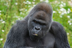 Silverback Gorilla portrait. Large male Silverback Gorilla looking sideways Royalty Free Stock Images