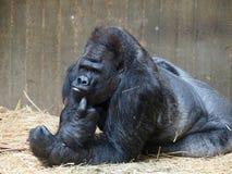 Silverback gorilla Royalty Free Stock Images