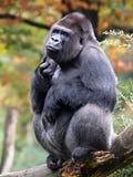 Silverback gorilla Royalty Free Stock Photos