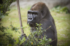 Silverback Gorilla With Rope Royalty Free Stock Images