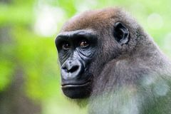 A Silverback Gorilla's face. stock photo