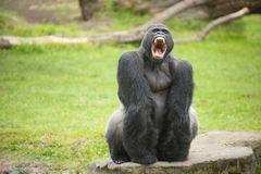Silverback gorilla showing teeth Royalty Free Stock Photography