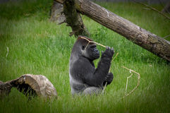 Silverback Gorilla. A silverback gorilla sitting in the grass playing with wood Stock Images