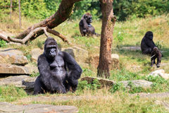 Silverback Gorilla sitting. Group of western lowland gorillas Gorilla gorilla gorilla with an silverback alpha male Stock Images