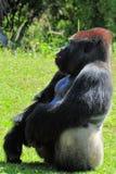 Silverback Gorilla-Sitzen Stockbilder
