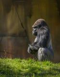 Silverback Gorilla Squatting Photographie stock