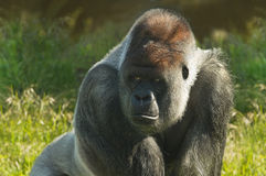 Silverback gorilla. Standing in morning sunshine and staring Royalty Free Stock Photo