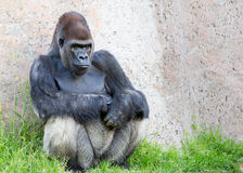 Silverback Gorilla. A silverback gorilla stares intensely.  Copy space available Royalty Free Stock Photo