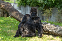 Silverback gorilla. A staring gorilla in the Berlin Zoo royalty free stock images