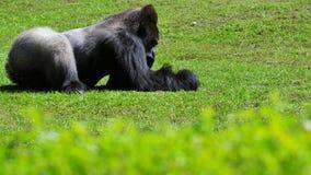 Silverback Gorilla-Stillstehen Stockfoto