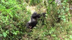 Silverback Gorilla Stretching i skogen stock video