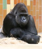 Silverback gorilla thinking. Portrait of a pondering gorilla. The biggest and strongest of the anthropoid apes, the dominant older males, called silverbacks Royalty Free Stock Images
