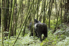 Silverback gorilla in Volcanoes National Park, Virunga, Rwanda. Silverback mountain gorilla standing in bamboo forest of Volcanoes National Park, Virunga, Rwanda Stock Photos