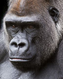 Silverback-Gorillaporträt Lizenzfreie Stockbilder