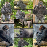 Silverback Gorillas Stock Photography