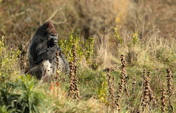 Silverback gorillas. Stock Photography