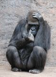 Silverback Gorillia. A young concerned silverback gorilla showing a pointing finger Royalty Free Stock Image
