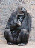 Silverback Gorillia Lizenzfreies Stockbild