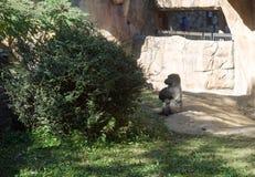 Silverback goryl ignoruje zoo obserwatorów obraz royalty free