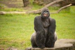 Silverback goryl pokazuje teath Zdjęcia Royalty Free