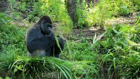 Silverback goryla łasowania liście zdjęcie wideo