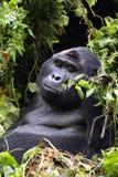 Silverback goryla goryla beringei beringei obsiadanie na zielonym krzaku Obrazy Stock