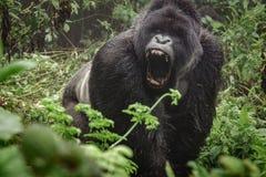 Silverback halny goryl w mglistym lasowym otwarcia usta Obrazy Stock