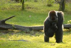 Silverback. A large gorilla appears to be contemplating something in the late afternoon sun, at the Kansas city, Public Zoo Stock Image
