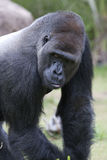 Silverback Lowland Gorilla Royalty Free Stock Images