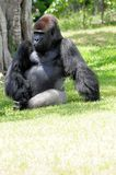 Silverback Lowland gorilla. Relaxing in a South Florida zoo Royalty Free Stock Photo