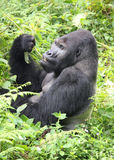 Silverback lowland gorilla eating lunch in the Con Stock Photos