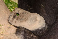 Silverback lowland gorilla foot close-up Royalty Free Stock Photos