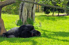 Silverback lowland gorilla relaxing. Male (Silverback) lowland gorilla resting with his mouth open in Zoo Miami, South Florida Royalty Free Stock Photo