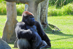 Silverback lowland Gorilla Resting Royalty Free Stock Image