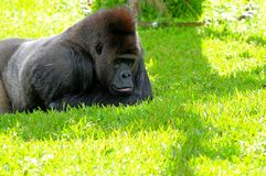 Silverback lowland gorilla resting. Male (Silverback) lowland gorilla looking at the grass in Zoo Miami,South Florida Stock Photos