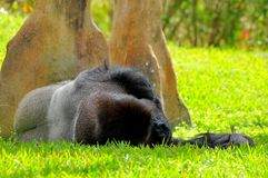 Silverback lowland gorilla sleeping Royalty Free Stock Images