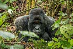Silverback Mountain gorilla laying in the leaves. Silverback Mountain gorilla laying in the leaves in the Virunga National Park, Democratic Republic Of Congo stock photography