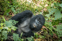 Silverback Mountain gorilla laying in the leaves. Silverback Mountain gorilla laying in the leaves in the Virunga National Park, Democratic Republic Of Congo Royalty Free Stock Images