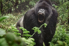 Silverback mountain gorilla in the misty forest opening mouth. Front view of angry silverback mountain gorilla in the misty wild forest opening mouth stock images
